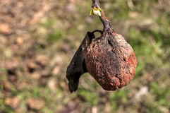Withered on branch autumn pear Stock Photos