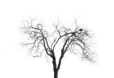 Withered Branches. Of a tree struggle to survive Stock Photos