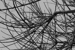Withered branches black and white image. Withered branch in cold winter Royalty Free Stock Image