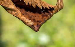 Withered brown autumn leaf filled with rain water in the sun Stock Images