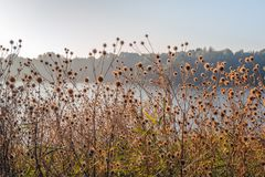 Withered brown hooked burs of greater burdock plants at the edge. Withered brown hooked burs of greater burdock or Arctium Lappa plants growing in the wild at royalty free stock photo