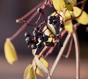Withered bunch of grapes in a sun Stock Photography