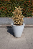 Withered bush in a pot. Withered golden bush in a granite pot stock image