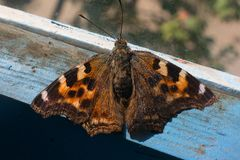 Withered butterfly on an old dusty window. Close-up Stock Images