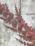 Withered climber plant Royalty Free Stock Photography