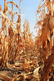 Withered corn field Stock Images