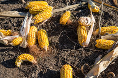 Withered corn. In the fields, waiting to be picked up Royalty Free Stock Image