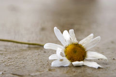 Withered Daisy. A withered daisy flower lying on the floor after being lashed by heavy rain Royalty Free Stock Photos