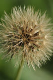 Withered dandelion Stock Photos