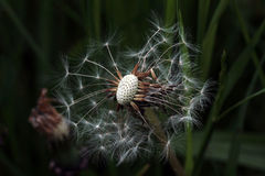 A withered dandelion Royalty Free Stock Photos