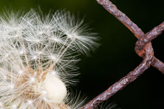 Withered dandelion Royalty Free Stock Photo