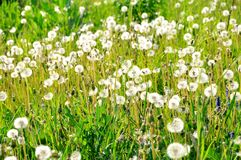 Withered dandelions in the meadow. With wild vegetation Stock Photography