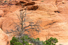 Withered Desert Tree with Red Rock Background Royalty Free Stock Image