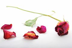 Withered and discolored red rose with rose petals. A withered and discolored red rose lying with rosepetals scattered around royalty free stock photography