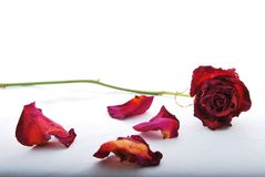 Withered and discolored red rose lying with rose petals. A withered and discolored red rose lying on a white surface with rose petals scattered around royalty free stock image