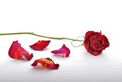 Withered and discolored red rose with rose petals scattered. A withered and discolored red rose lying on a white surface with rose petals scattered around stock photos