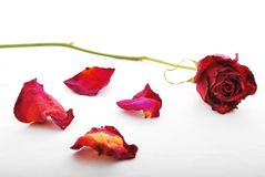 Withered and discolored red rose with rose petals scattered. A withered and discolored red rose lying on a white surface with rose petals scattered around stock photography