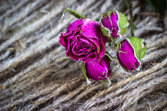 Withered dried roses Stock Photography