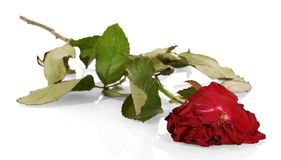 Witherbarks red rose closeup isolated on white. Withered and drooping red rose closeup isolated on white background Royalty Free Stock Image