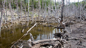 Withered flooded forests are often found Stock Photography