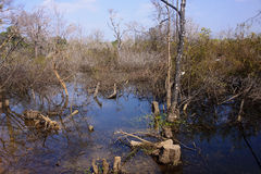 Withered flooded forests Stock Photography