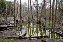 Withered flooded forests are often found in Tierra Royalty Free Stock Image