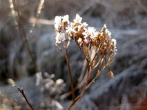 Withered flower becomes ice flower. In January Stock Photo