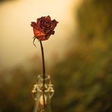 Withered Flower in the bottle Royalty Free Stock Photos