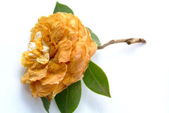Withered flower. The withered Camellia in white background flower Stock Photography