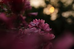 Withered flower and sunset. Withered rose flower and sunset royalty free stock image