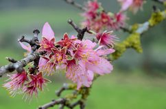 Withered  flowers of almond tree Stock Image