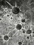 Withered flowers in greyscale Royalty Free Stock Image