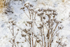 Withered flowers in winter covered with ice and snow Royalty Free Stock Photo
