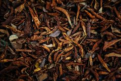 Withered foliage of a chestnut tree. Look like worms stock photo