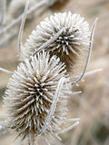 Withered frosty common teasel in winter Stock Photo