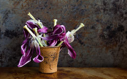 Withered fully opened violet flowers after blooms. Beautiful tulip petals pistils stamen seeds vintage brown bucket Stock Photo