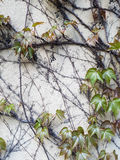 Withered grape vines and fresh grape leaves on the background of the old whitewashed brick wall. Stock Photo