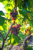 Withered Grapes in Italian vineyard Royalty Free Stock Images