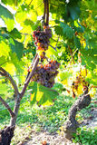 Withered Grapes in Italian vineyard Royalty Free Stock Photos