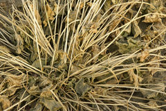 Withered grass Stock Photos