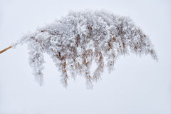 Withered grass on the snow Stock Photo