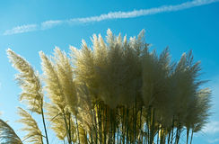 Withered grass in the sunlight against  sky Stock Image