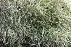 Withered grass texture Royalty Free Stock Photo