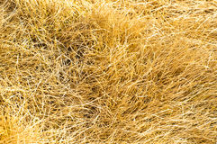 Withered grass. Yellow withered grass in winter Stock Photo