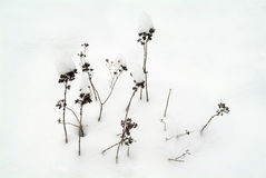 Withered grasses in the snow Stock Images