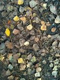 Withered gray and yellow fallen autumn leaves on the forest ground. Withered gray and yellow fallen autumn leaves with old pine needles on the forest ground royalty free stock photo