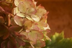 Withered hydrangea flowers stock photos
