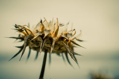 Withered inflorescence of thistles. On blurred background Royalty Free Stock Photography