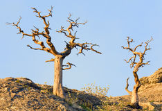 Withered juniper tree Royalty Free Stock Images