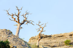 Withered juniper tree Stock Photo